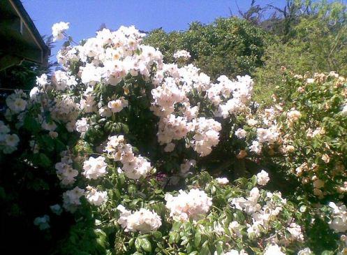 Rose_cascade